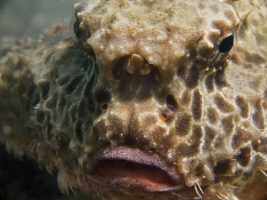 """The face"" of a Polka-Dot- Batfish, taken ""Under the bridge"" by Beate Seiler"